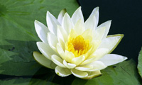 Shapla ful - Water Lilly, national flower of Bangladesh